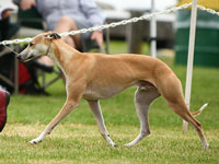 Hokum winning SBIS at the Whippet Club of BC specialty, July 2014. Photo by Amie Anderson.